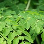 benefits-of-moringa-leaves-for-diabetes