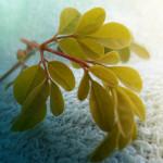 moringa plant leaves