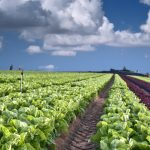 Lettuce field in Israel as an example of the country's sustainable farming practices.