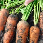 Dirty carrots being harvested from ground.